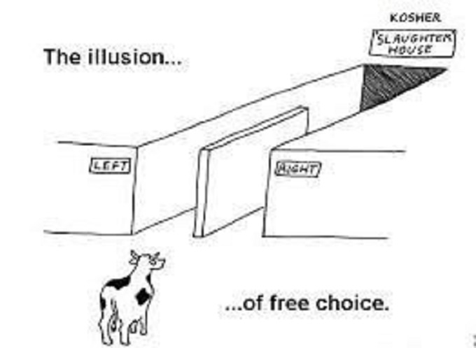 The illusion of free will free choice ~ Cow abatoir